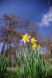 daffodil wiosna Fotografia Stock
