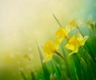 Daffodil wiosny tło Zdjęcia Royalty Free