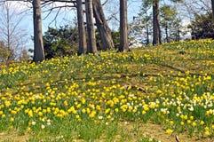 Daffodil wzgórze Zdjęcia Royalty Free