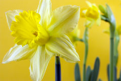 Daffodil on yellow Royalty Free Stock Image
