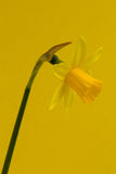 Daffodil on Yellow Royalty Free Stock Photos
