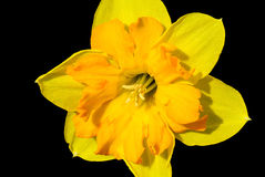 Daffodil. Yellow daffodil on a black background Royalty Free Stock Photography
