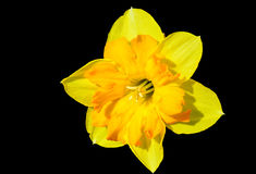 Daffodil. Yellow daffodil on a black background Royalty Free Stock Photo