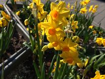 Daffodil. Yellow daffodils in the Royalty Free Stock Images