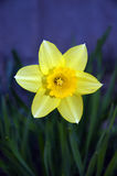 Daffodil-yellow flower. Single yellow daffodil Stock Images