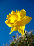 Daffodil. A yellow daffodil flower in full bloom Royalty Free Stock Images