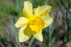 Daffodil yellow Stock Image