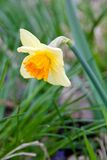 Daffodil. Yellow Daffodil in spring time between the green grass Royalty Free Stock Photo