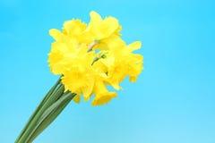 Daffodilas在蓝色渐进性背景中 库存照片