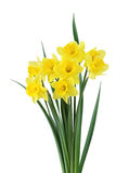 daffodile的捆绑 库存图片