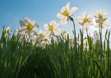 Daffodiles positivos da mola de baixo de imagens de stock royalty free