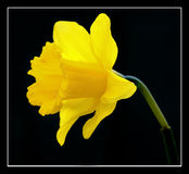 Daffodill Royalty Free Stock Photo