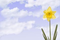 Daffodill with cloudy sky Royalty Free Stock Image