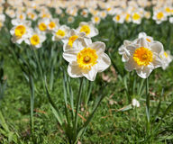 Daffodill with field of flowers Royalty Free Stock Images