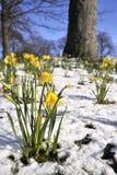 Daffodill in la neve di primavera fotografia stock libera da diritti
