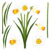 Daffodill - Narcissen Vector illustratie Geïsoleerdj op witte achtergrond Stock Foto's