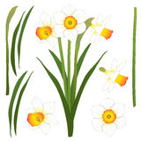 Daffodill - Narcissus. Vector Illustration. isolated on White Background Stock Photos