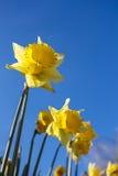 Daffodills amarillo, fondo del cielo azul Imágenes de archivo libres de regalías