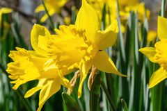Daffodills-Bl?te unter saftigem gr?nem Gras, an einem sch?nen Vorfr?hlingstag in im Hinterland New York stockbild