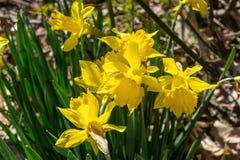 Daffodills kwiat w?r?d t?ustoszowatej zielonej trawy na pi?knym wczesnym wiosna dniu w Nowy Jork, Upstate fotografia royalty free