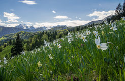 Daffodills with mountains. Meadow of daffodils with mountains in background Stock Photo