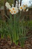 Daffodills (Narcissen ?Geranium?) Royalty-vrije Stock Afbeeldingen