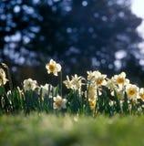 daffodillsfjäder Royaltyfri Fotografi