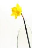 daffodillskärm Royaltyfria Bilder