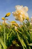 daffodils διπλάσιο Στοκ φωτογραφία με δικαίωμα ελεύθερης χρήσης