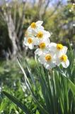 daffodils ελαφρύ πρωί στοκ φωτογραφία με δικαίωμα ελεύθερης χρήσης