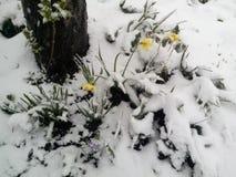 Daffodils κάτω από το χιόνι στοκ εικόνα με δικαίωμα ελεύθερης χρήσης