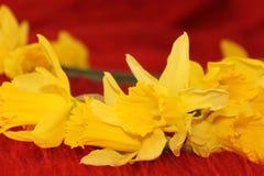 daffodils κίτρινος Στοκ Φωτογραφίες
