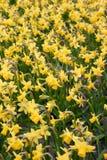 daffodils κίτρινος Στοκ Εικόνες
