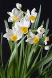 daffodils λευκό στοκ εικόνες