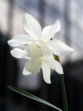 daffodils λευκό Στοκ φωτογραφίες με δικαίωμα ελεύθερης χρήσης