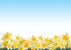daffodils πλαίσιο Στοκ Εικόνες