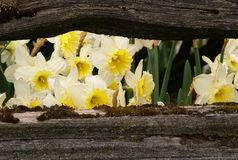 daffodils πλαισιωμένος στοκ εικόνες