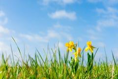 Daffodils σε έναν πράσινο τομέα Στοκ Εικόνες