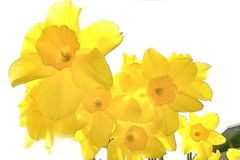 Daffodils σε Backlight στοκ φωτογραφίες με δικαίωμα ελεύθερης χρήσης