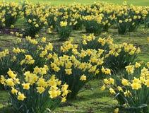 Daffodils στην άνθιση Στοκ Εικόνες