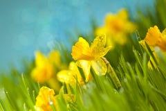 Daffodils στη χλόη στοκ φωτογραφίες με δικαίωμα ελεύθερης χρήσης