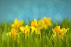 Daffodils στο λιβάδι στοκ φωτογραφία