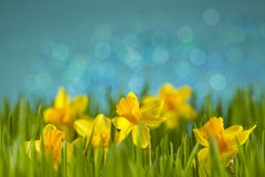 Daffodils στο λιβάδι στοκ φωτογραφίες με δικαίωμα ελεύθερης χρήσης