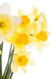 Daffodils στο λευκό Στοκ φωτογραφία με δικαίωμα ελεύθερης χρήσης