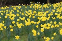 Daffodils στο λουλούδι Στοκ Εικόνες