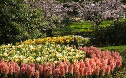 daffodils τουλίπες υάκινθων Στοκ Εικόνες