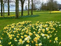 Daffodils, берегом залива. Стоковые Изображения