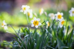 daffodils белые Стоковые Фотографии RF