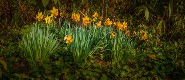 Daffodils весной Стоковые Изображения