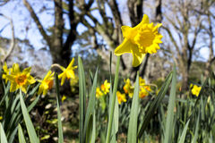 Daffodils весной Стоковое Изображение RF